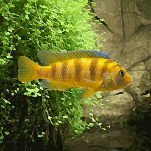 Pseudotropheus lombardoi (environ 5 cm)