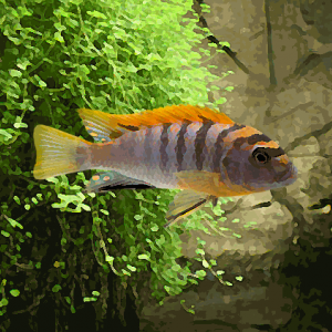 Labidochromis hongi red top (3.5 à 5 cm)