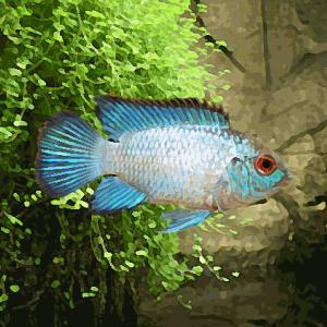 Aequidens pulcher electric blue (environ 7 cm)