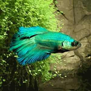 Betta male vert (environ 6 cm)
