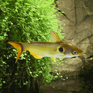 Horabagrus dore a ocelle (environ 7 cm)