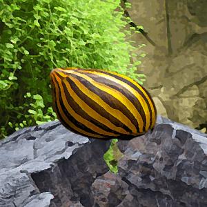 Escargot neritina zebra