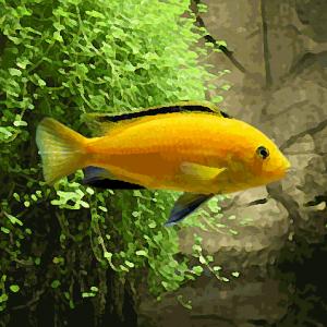 Labidochromis jaune (environ 5 cm)