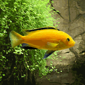 Labidochromis jaune (environ 4 cm)