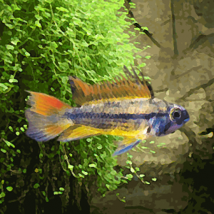 Apistogramma cacatoides gold orange (environ 4 cm)