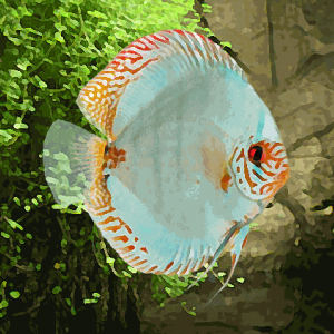 Discus Stendker solid turquoise (environ 9 cm)
