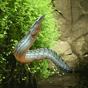 Mastacembelus armatus (6 à 8 cm)
