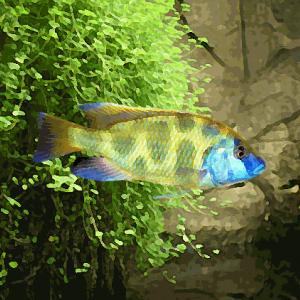 Nimbochromis venustus (environ 6 cm)