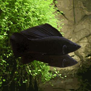 Velifera noir le couple xl (environ 7 cm)