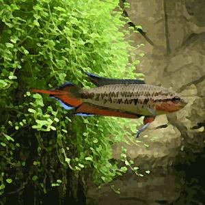 Pseudosphromen dayi (environ 5 cm)