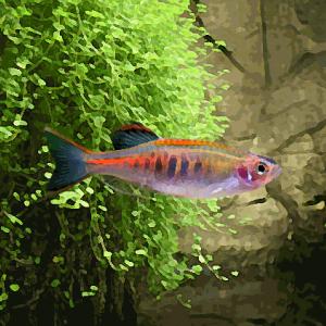 Danio chopraï (environ 3 cm)