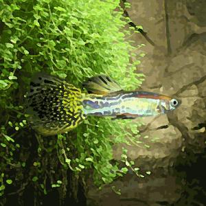 Guppy male cobra jaune (environ 4 cm)