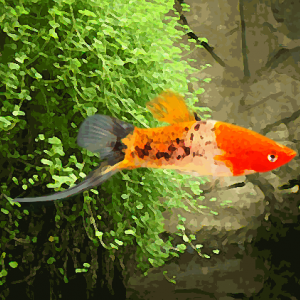 Xipho koi sanke (tricolor) (environ 5 cm)