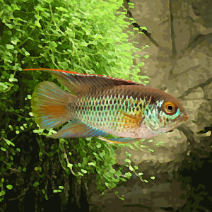Nannacara anomala (environ 4 cm)