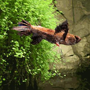Pantodon papillon (environ 9 cm)