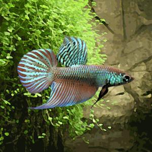 Betta smaragdina f0 (environ 3 cm)