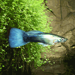 Guppy male metallic bleu neon (environ 4 cm)