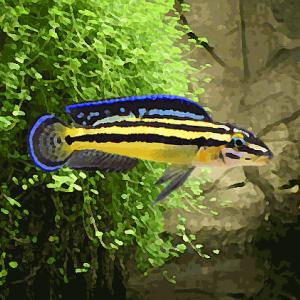 Julidochromis regani kipili (environ 5 cm)