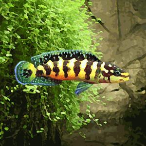 Julidochromis transcriptus (environ 5 cm)