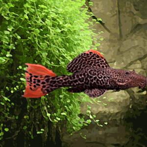 L 114 pseudacanthicus leopardus (10 à 12 cm)