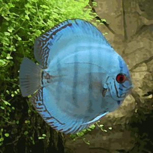 Discus Stendker bleu cobalt (environ 7 cm)