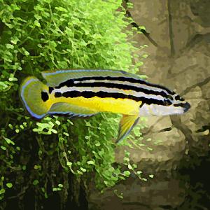 Julidochromis ornatus (3.5 à 5 cm)
