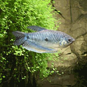 Gourami bleu (environ 6 cm)