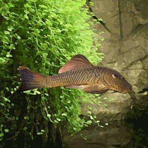 L 146 a  chaetosma thomasi (5 à 7 cm)