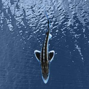Esturgeons baeri (8 à 10 cm)