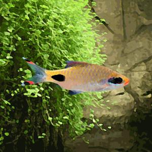 Barbus filamentosus