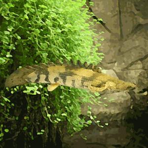 Polypterus endlicheri (environ 8 cm)