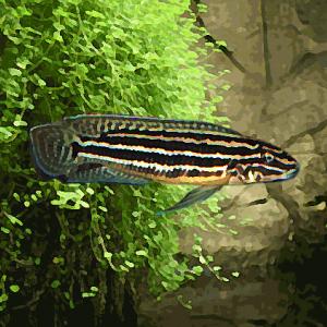 Julidochromis regani (environ 5 cm)