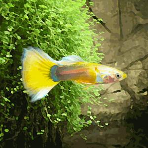 Guppy male tuxedo jaune (environ 4 cm)