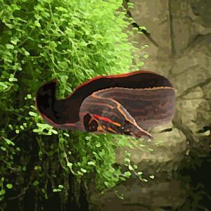 Mastacembelus rouge (30 à 40 cm)