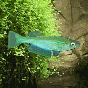 Lamprichthys tanganicum (environ 5 cm)