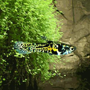 Guppy mâle endler tigre (environ 2 cm)