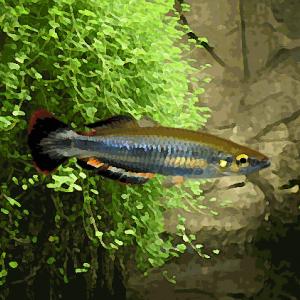 Bedotia (environ 5 cm)