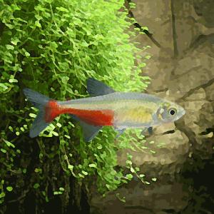 Aphyocharax rathbuni (environ 3 cm)