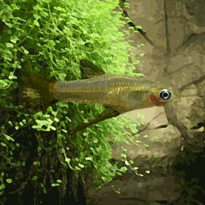 Girardinus falcatus (3 à 5 cm)