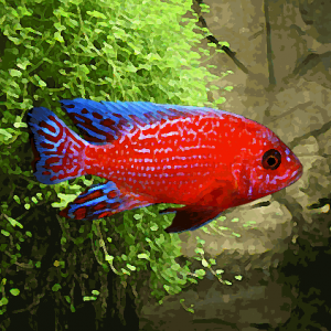 Aulonocara sp.firefish (environ 5 cm)