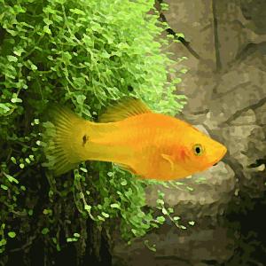 Platy jaune (environ 3.5 cm)