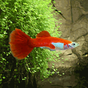 Guppy male red blond (environ 4 cm)
