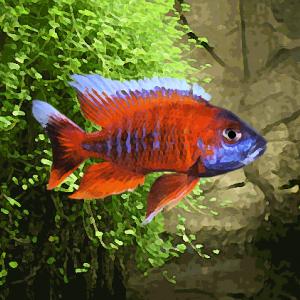 Aulonocara nyassae rouge (environ 5 cm)