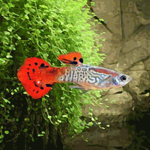 Guppy male cobra rouge (environ 4 cm)