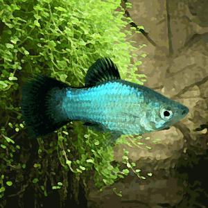 Platy wagtail bleu (environ 3.5 cm)