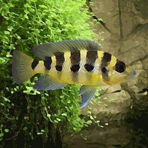 Lamprologus sexfasciatus (environ 4 cm)