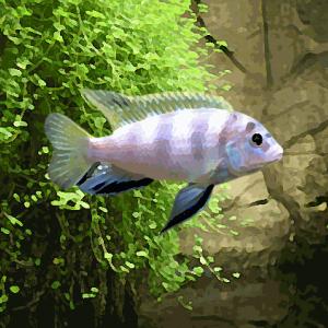 Labidochromis sp. perlmutt (environ 4 cm)