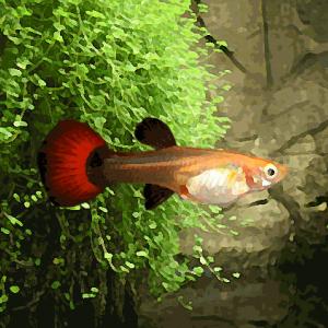 Guppy femelle tuxedo rouge (environ 4 cm)