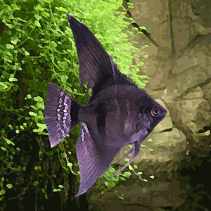 Scalaire noir velvet (environ 4 cm)