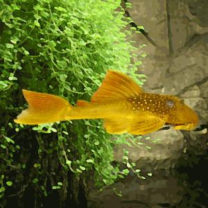 L 200 hypostomus jaune (7 à 10 cm)